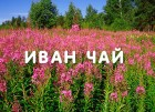Древний напиток Иван-чай