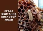 История и среда обитания восковой моли